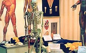 Макет человеческого скелета в полный рост